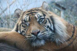 Tigres en el zoo de Edimburgo